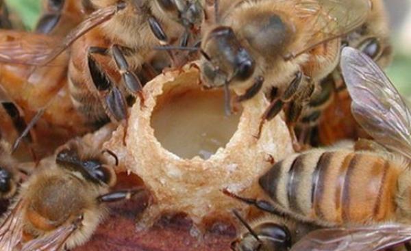 Как да използвате пчелното млечице за подсилване и лечение