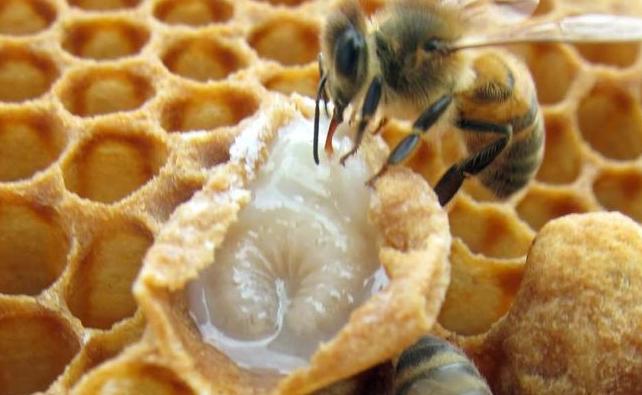Уникалната лечебна сила на пчелното млечице
