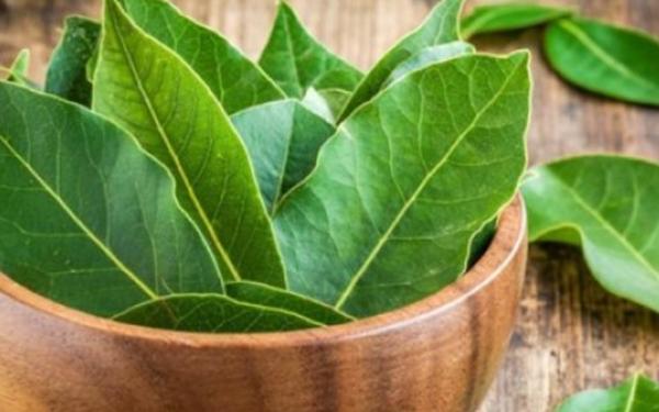 Дафиновият лист – вълшебен лек